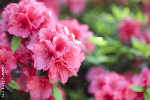 In de dag Azalea Hot Pink Azalea