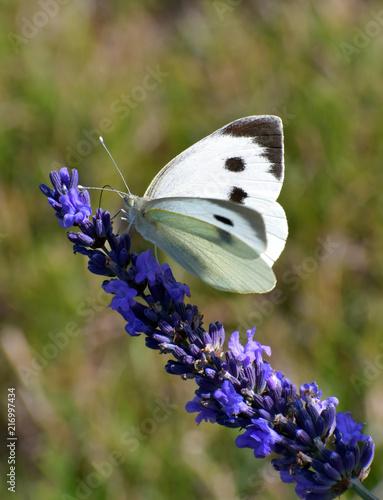 Welsh Lavender fields,Powys, UK - 216997434