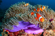Leinwanddruck Bild - A family of beautiful False Clownfish in their host anemone on a tropical coral reef