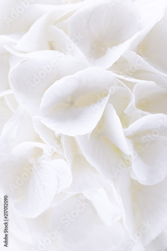 In de dag Hydrangea Beautiful white hydrangea or hortensia flowers. Free space. Hydrangea flora background
