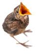 Leinwanddruck Bild - freigestellter junger Vogel mit offenem Schnabel bettelt oder ruft etwas