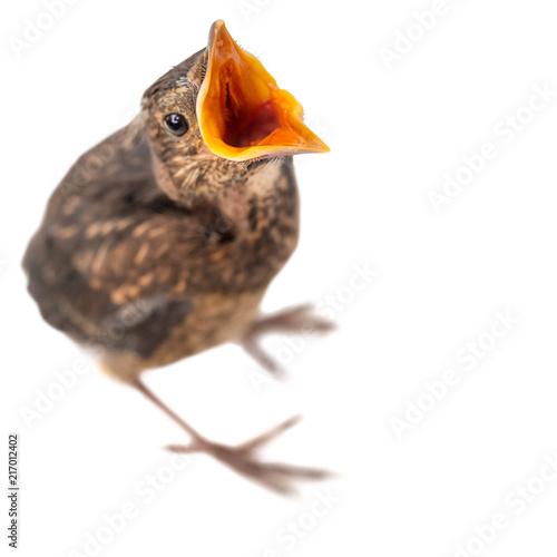 Leinwanddruck Bild freigestellter junger Vogel mit offenem Schnabel bettelt oder ruft etwas