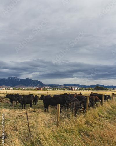 Fotobehang Donkergrijs Montana Cows
