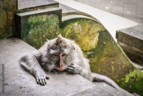 Foto Spatwand Aap Portrait of a monkey