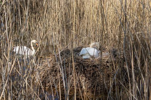 Canvas Zwaan Swan couple nesting