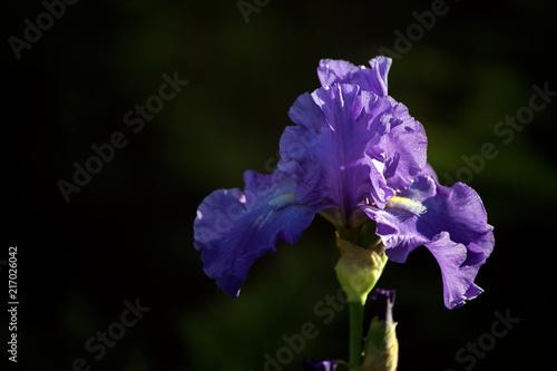Aluminium Iris Natural background. Beautiful flower Iris.