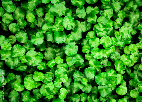 Leinwanddruck Bild beautiful closeup green leaf of a Water Pennywort background
