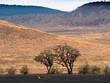 Löwen vor Baum in Savanne