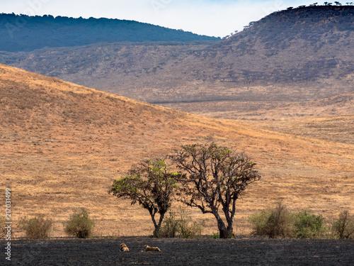 Foto Spatwand Lion Löwen vor Baum in Savanne