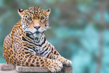 leopard looking at camera