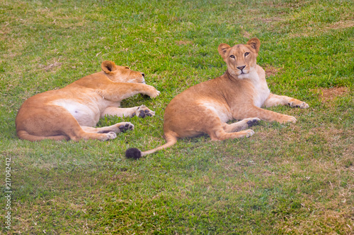 Plexiglas Panter lionesses relaxing in the bush Africa