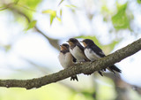 three  small baby swallows sitting on a branch clinging to each other waiting parents - 217046624