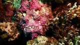 Red Sea Diving, Stone Fish at Coral Reef, Hurghada Safaga Sharm El Sheik Egypt - 217048041