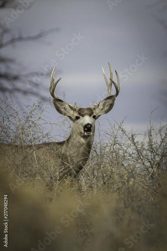 Canvas Hert Colorado Buck
