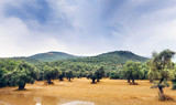 Landscape view of Olive field.. - 217053465