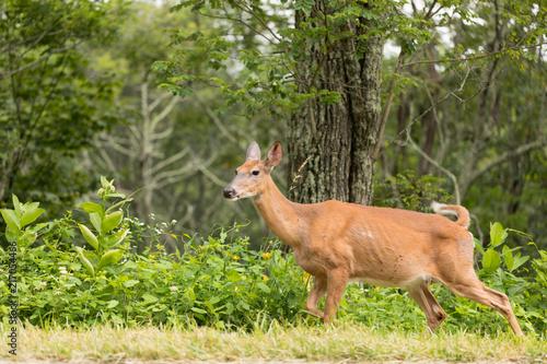 Canvas Hert Wild Deer