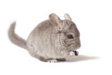 Cute chinchilla eating dry fruit food isolated on white