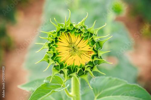 Aluminium Olijf sunflower ready to open