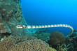 Quadro Banded Sea Krait (Snake)