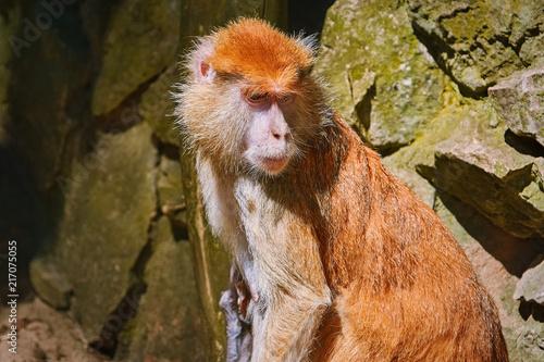 Foto Murales Portrait of Patas Monkey