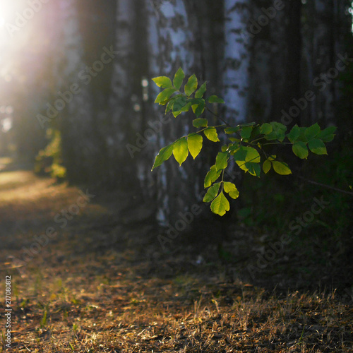 In de dag Berkenbos Birch grove at dawn. Birch leaves illuminated by sunlight. Natural forest background.