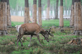 Deer in the nature habitat. Animal in the forest meadow. - 217088005