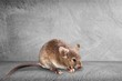 Quadro Gray mouse animal on background