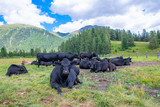 Black cows rest in the pastures of the Swiss Alps