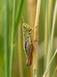 Little Green Grasshopper