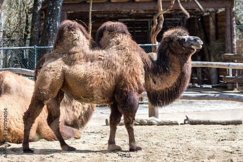 In de dag Kameel Kamel - Camelus ferus - Trampeltier