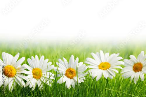 Foto Murales White daisy flowers in green grass