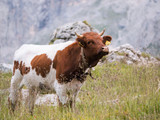 Brown and white cow standing on a pasture with high grass in front of rocks