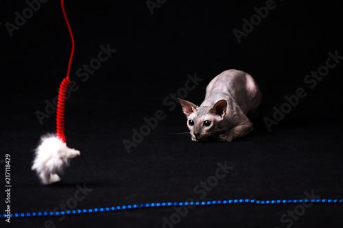 Foto Spatwand Kat Graceful donskoy cat