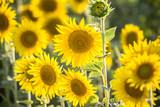 Beautiful Sunflowers, closeup