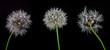 Drei Pusteblumen