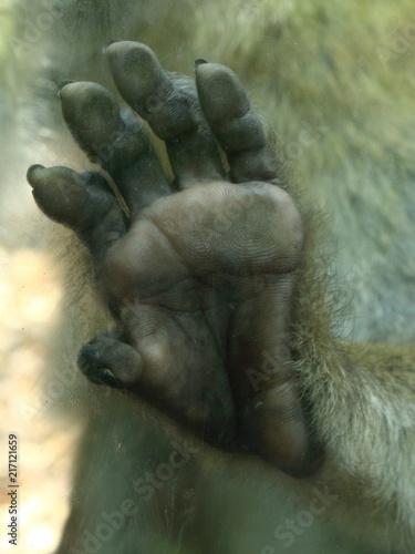 Foto Spatwand Aap barbary ape monkey hand detail on glass plane macaca sylvanus