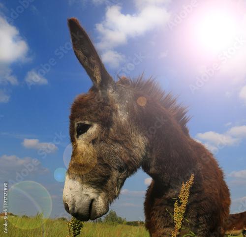 Leinwanddruck Bild Donkey in a Field in sunny day