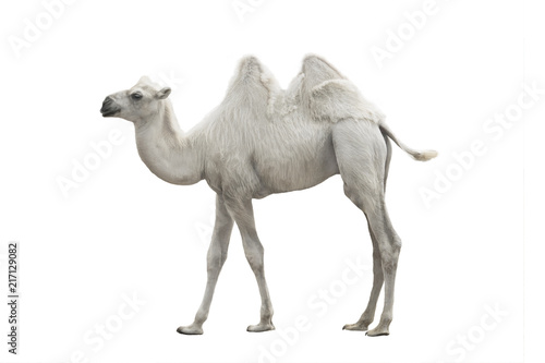 Canvas Kameel white camel isolated