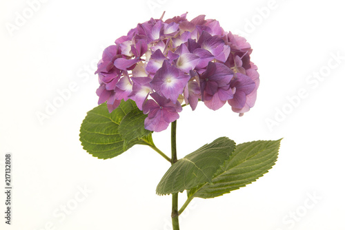 In de dag Hydrangea Soft purple hortensia flower isolated on a white background