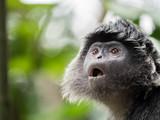 Javan Langur Monkey - 217133886