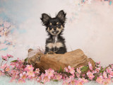 Cute chihuahua puppy in a wooden basket in a pastel colored flower background looking at the camera