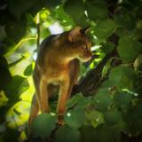 Felis catus Close-up eyes are big and beautiful - 217141649