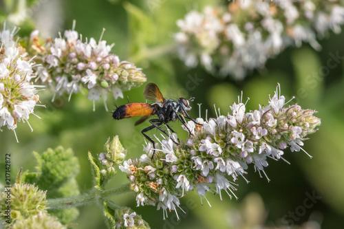In de dag Bee sandwespe