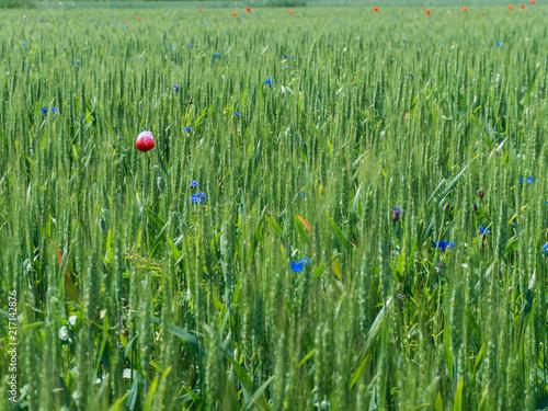 In de dag Klaprozen papavero nel grano