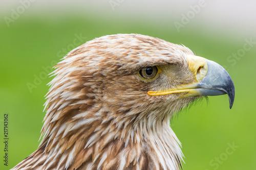 Canvas Eagle Portrait d'aigle