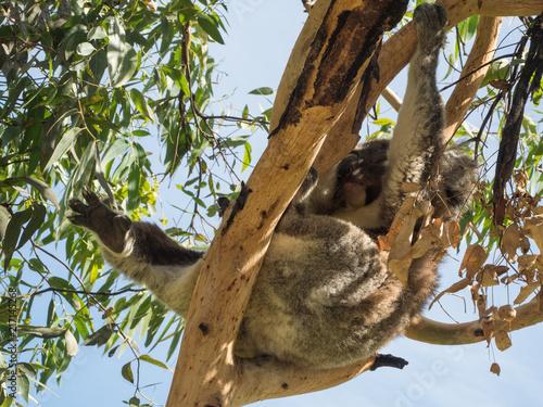 Foto Murales Koala in Australia