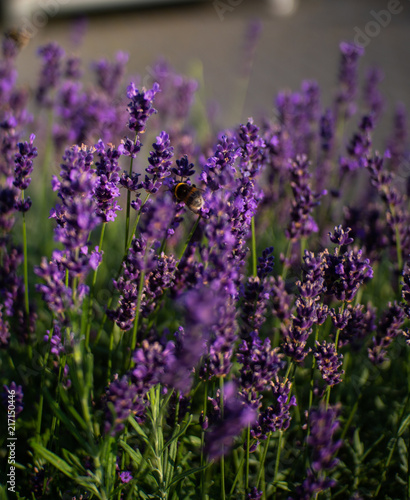 Foto Spatwand Lavendel Lavendel, Hummel