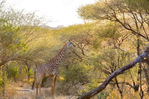 Poster African Giraffe