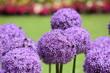 Quadro Purple round onion flower