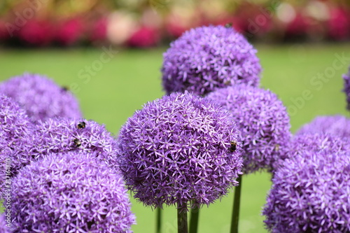 Fotobehang Natuur Purple round onion flower